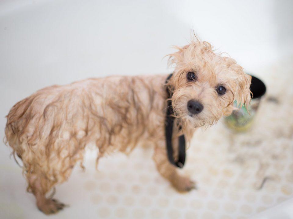Wet Dog - Dog Shampoo-Bathing Your Dog